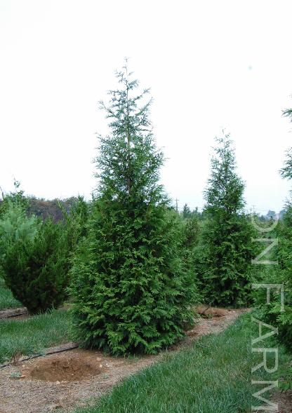 Thuja X 39 Green Giant 39